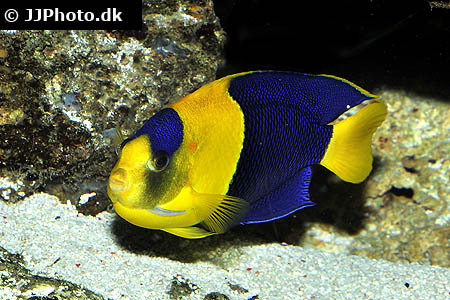 Corydoras species c133 2