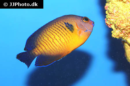 Corydoras species c133 3