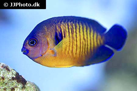 Corydoras species c134 1