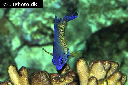 Corydoras species c139 2