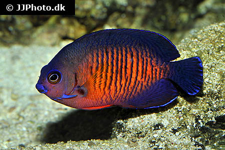 Corydoras species c140 1