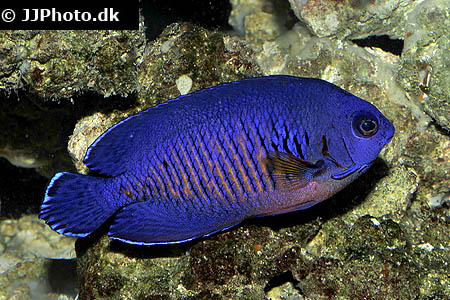 Corydoras species c140 2