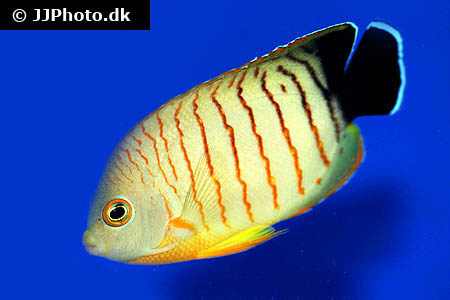 Corydoras species c142 1