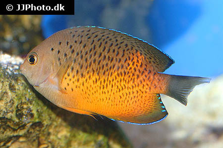 Corydoras species c145 1