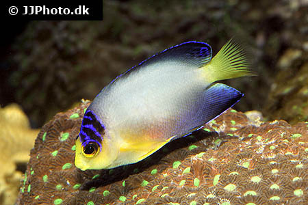 Corydoras species cw009 1