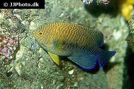 Corydoras species cw010 2