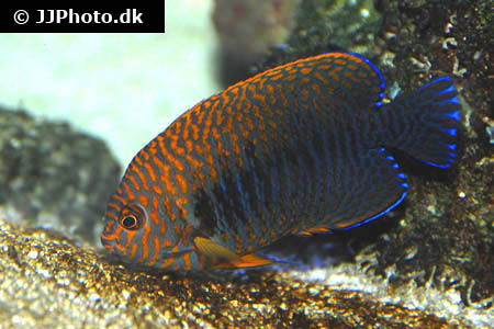 Corydoras species cw010 4