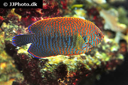 Corydoras species cw012 1