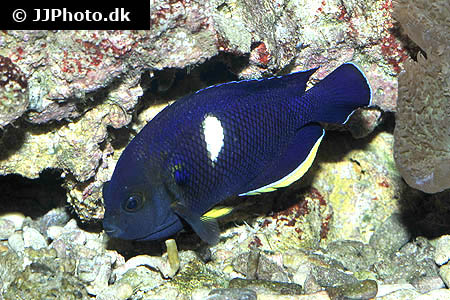 Corydoras species cw018 2