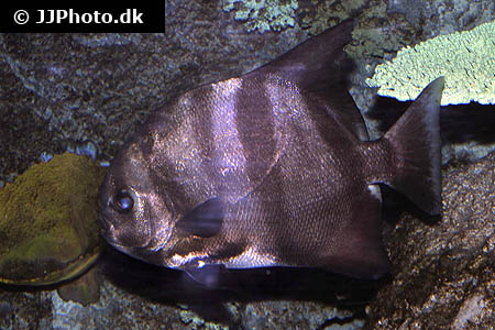 Corydoras species cw037 5