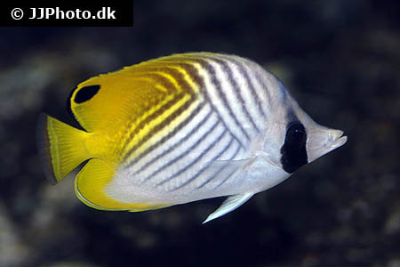 Corydoras species cw037 12