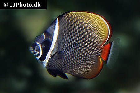 Corydoras species cw044 1