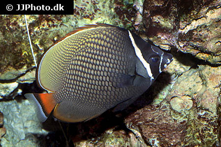 Corydoras species cw044 2