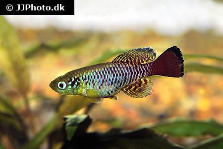 Disk Tetra : Aquariumphoto.dk - Category: America - Piranha types - Image: Myleus ...