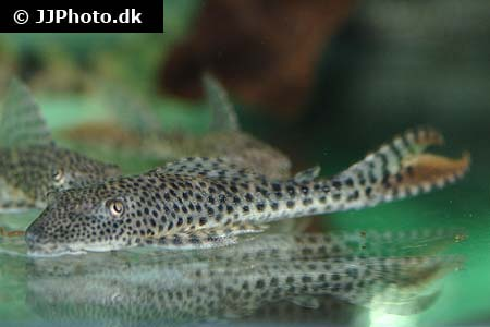 Corydoras species Cw045 1