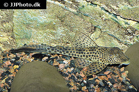 Corydoras species Cw049 2