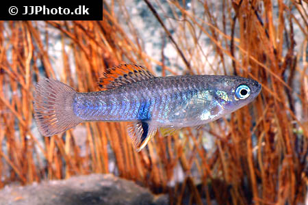 Corydoras species c124 3