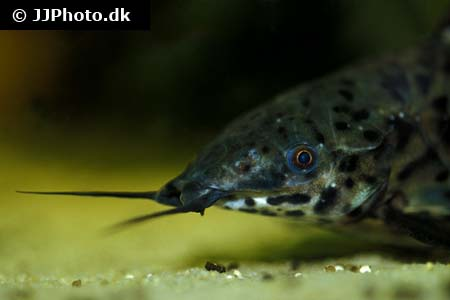 ... Category: Africa - Various Characins - Image: Distichodus teugelsi 3