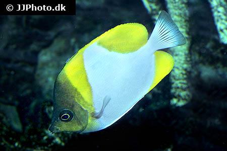 ... .dk - Category: Killifish - Africa - Image: Aphyosemion maculatum 1