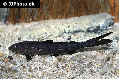 Corydoras species cw014 3