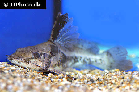 Corydoras species cw014 6