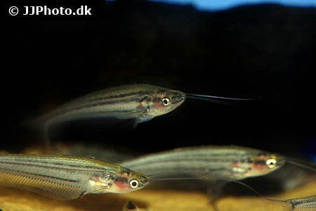 Corydoras species c082 2