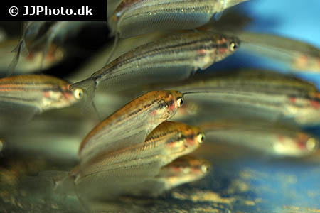 Corydoras species c083 1