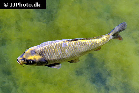 Corydoras species c083 5