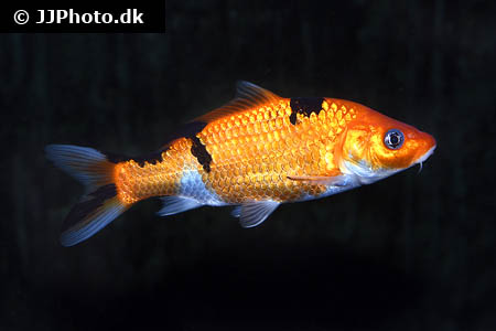 Corydoras species c157 4