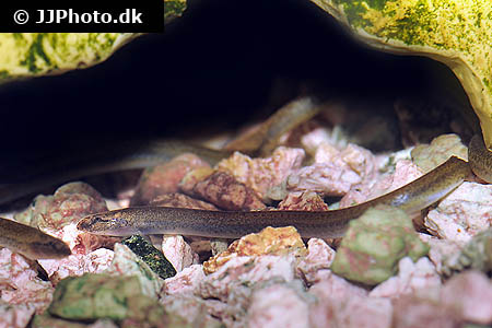 Corydoras species c143 3