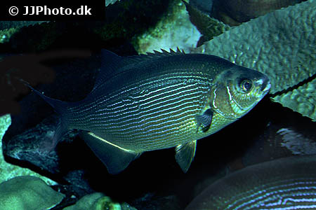 Corydoras species cw051 7