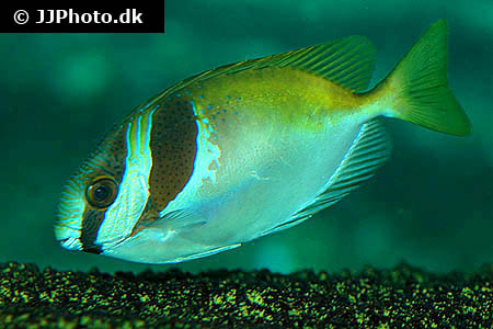 Aquariumphoto Dk Category America Trout Characin Image Brycon Alburnus 1