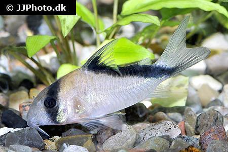 Home Aquarium Fishes
