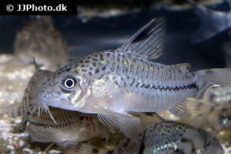 ... Category: Africa - Various Characins - Image: Distichodus affinis 3