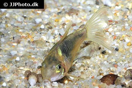 ... : Africa - Various Characins - Image: Distichodus fasciolatus 1