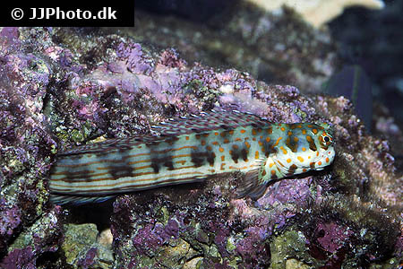 Corydoras species c003 2