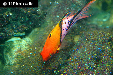 Corydoras species c003 6