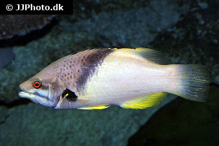 Corydoras species c038 1