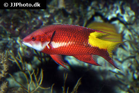 Corydoras species c042 1