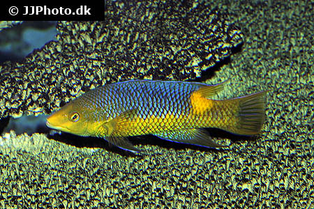 Corydoras species c045 2