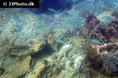 Corydoras species c048 3