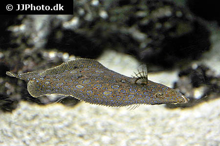 Corydoras species c091 2