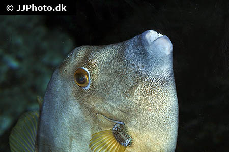 Corydoras species c096 6