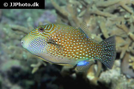 Corydoras species c096 8