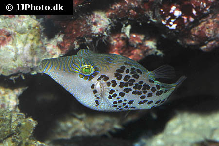 Corydoras species c102 1