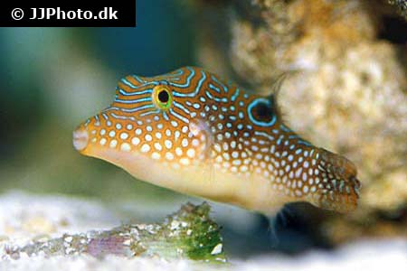 Corydoras species c102 4