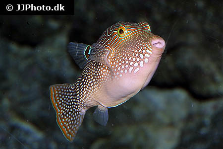 Corydoras species c115 1