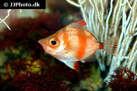 Corydoras species c116 1