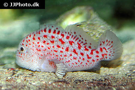 Corydoras species c121 2