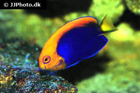 Corydoras species c123 2